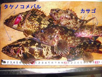 タケノコメバル.jpg